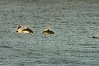 英吉利海峡海豚体内发现高浓度化学污染物