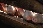 2019年上市猪企营收增长近半 2020年能否完成出栏目标?