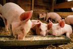 牧原股份生猪养殖多地开花  借力华能信托找钱
