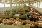 带着问题去读书|《失控的农业》:中国的养猪场到底什么样?