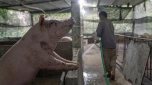 深山里的猪农——非洲猪瘟调查(上)