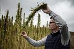 工业大麻产品须过研发和监管两大关