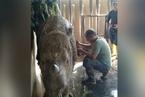 马来西亚最后一只雌性苏门答腊犀牛死亡