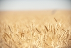 China Won't Raise Grain Import Quotas For U.S., Official Says