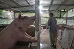 猪企升级难