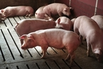 """2018年的""""新型冠状病毒"""",只会感染猪,不会传染人"""