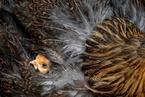 交通管制重创湖北家禽养殖业 鸡蛋积压鸡苗难消化