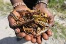 农业部:沙漠蝗很难越过高原 为害中国的几率很小