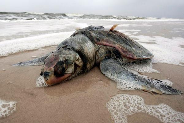 墨西哥湾石油泄漏造成重大生态污染