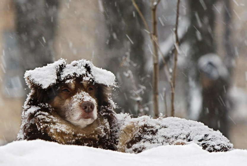 12月6日,白俄罗斯明斯克,雪地里,一条迷路的狗眼望远处。 人民图片/Fotomore.cn  _财新每周图片(2010.12.4-12.10)