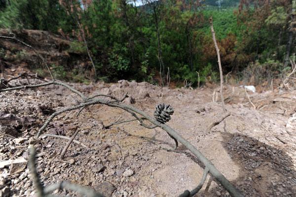 8月14日,云南曲靖市麒麟区一铬渣废料堆放点,附近的土壤已经变灰白,树木变枯黄。 任东/中新社  _云南曲靖被爆5000吨剧毒铬渣污染珠江源头