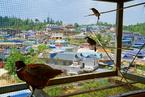老班章村:因普洱富裕的村落|显影