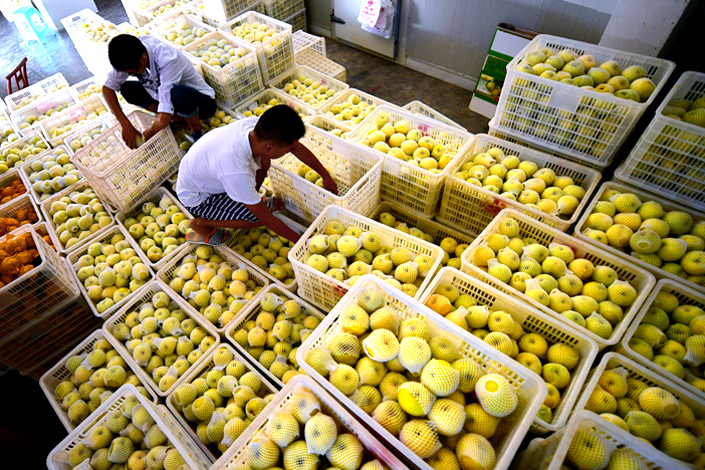 Farmers in Hubei province harvest and collect whangkeumbae pears in August. The pears, which can stay fresh for only 10 days after being picked, are refrigerated, which extends their shelf life to four months. While stored, they are sold through an online retailing platform. Photo: Visual China