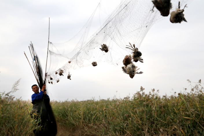 A local forestry official dismantles illegal bird nets in Tianjin. A large collection of bird nets, used for poaching wild birds, were found on Oct. 11. Photo: Visual China