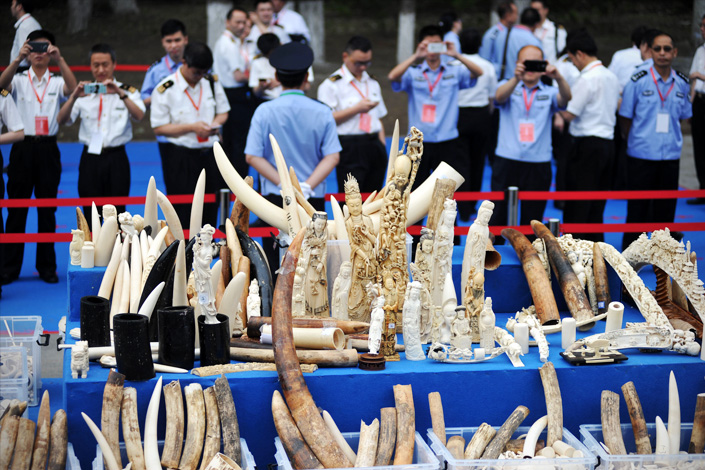 Nearly 662.5 kg of confiscated ivory and ivory products are displayed before being destroyed during a public anti-ivory-trading event at the Beijing Wildlife Rescue and Rehabilitation Center on May 29, 2015. Photo: IC