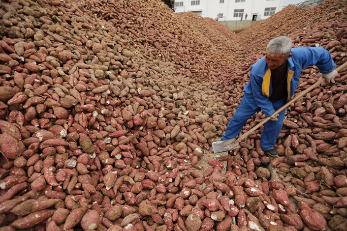 A farmer in Sihong county, Jiangsu province, harvests sweet potatoes on Nov. 16. Farmers in the area formed an agricultural cooperative that centralizes management of agricultural products and helps members plant and cultivate agricultural products. Photo: IC