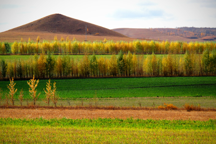 The anti-desertification forest surrounds agricultural farmlands in Eerguna, Inner Mongolia, in September 2011. Photo: IC