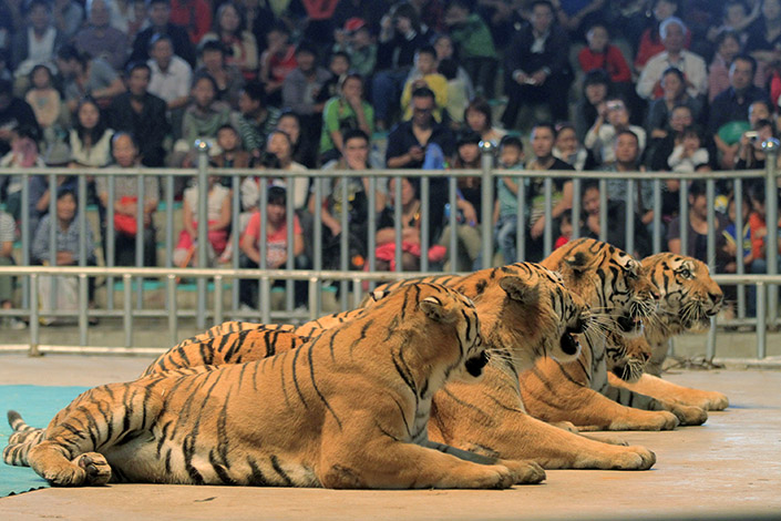 Trained tigers perform on World Animal Day in the Nanjing Pearl Spring Wildlife Park in October 2012. Two owners of a circus troupe were each sentenced in Shenyang to 10 years in prison recently for transporting endangered species. Photo: Visual China