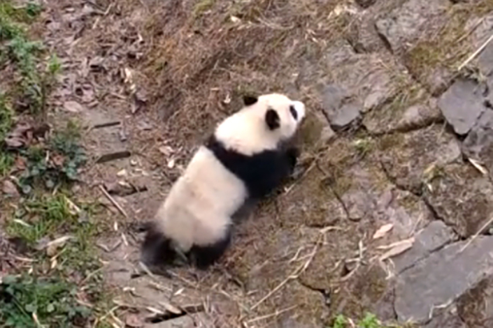 Domestically raised panda Hesheng, who was released into the wild last year, was recently found dead. Photo: Caixin