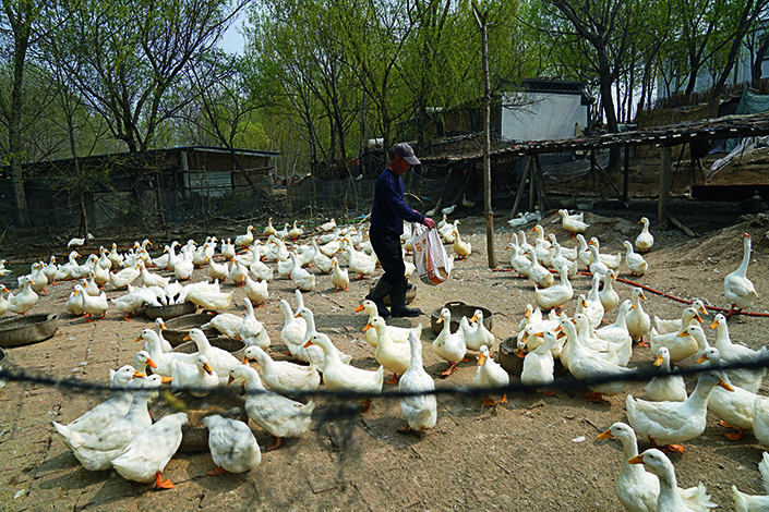 Yuan Sanwang, 65, lives in a house that he built himself in Nanhe village near the Baiyangdian wetlands. The house is smaller than 30 square meters but has a duck yard of 100 square meters. Photo: Yang Yifan/Chen Weixi/Caixin