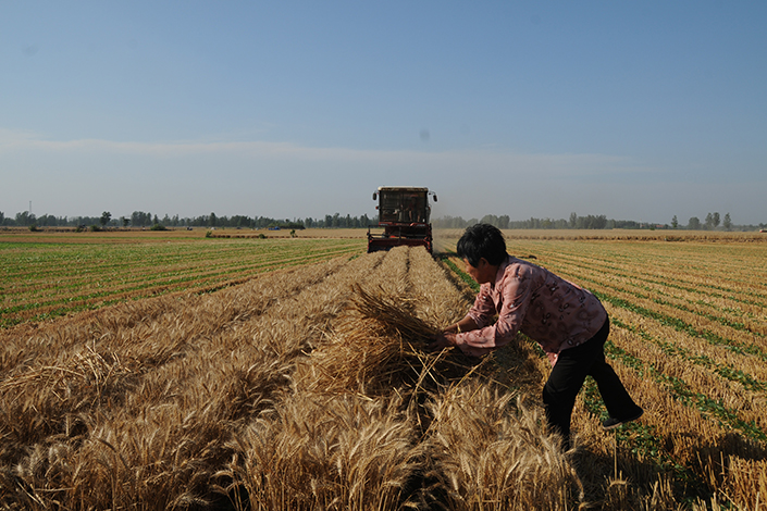 The Ministry of Environmental Protection says it is running independent tests to verify claims that wheat grown in two townships in central China contained two to 18 times more cadmium than is allowed under national food safety standards. A farmer harvests wheat in central China's Henan province on June 8.  Photo: Visual China