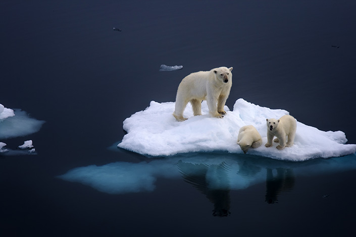 As the U.S. reneges on its commitment to the Paris climate accord, China will play a greater role in the coalition against climate change. Above, a female polar bear and her two 6-month-old cubs rest on an ice floe near Norway's Svalbard archipelago after a 60-mile Arctic swim. Photo: Visual China