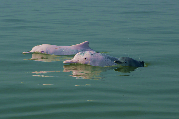 Chinese white dolphins face a threat to their habitat near Hainan, where a huge airport project is taking place without the proper clearances, an environmental group says. Above, Chinese white dolphins are seen in Sanniang Bay, Qinzhou, Guangxi province, in December 2014. Photo: Visual China