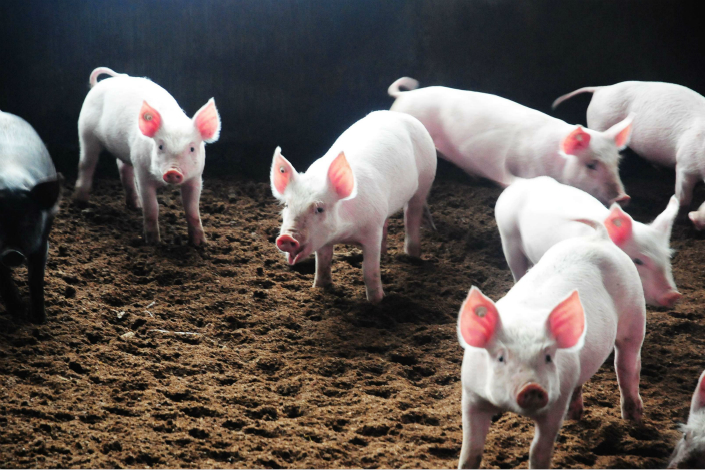 New Hope Group plans to build eight farms to raise 30,000 pigs for breeding, and about 130 centers to raise pigs for slaughter in the Liangshan Yi autonomous prefecture in Sichuan province. Photo: Visual China