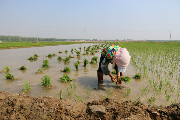 Eleven migrant farmers in Shandong province are seeking a court order that will require the regional environmental authority to reinvestigate alleged pollution from local manufacturers and make the findings public. Above, a farmer plants rice in Binzhou city, Shandong, on May 31. Photo: Visual China