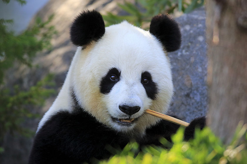 There were 1,864 giant pandas in the wild at the end of 2013, up 17% from 2003, according to government data. However, the figure remains much lower than it was in the early 1970s. Photo: Visual China