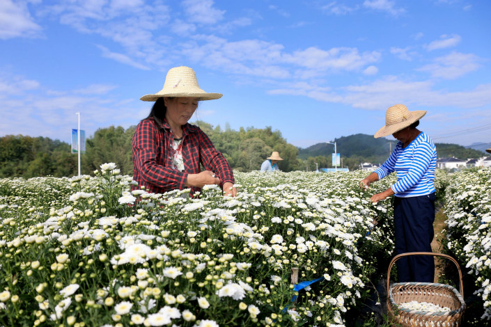 Beginning next year, Chinese banks will be allowed to set aside less cash as reserves if they extend more new loans to less-creditworthy borrowers. Above, farmers gather chysanthemums in Huangshan, Anhui province, on Tuesday. Photo: Visual China