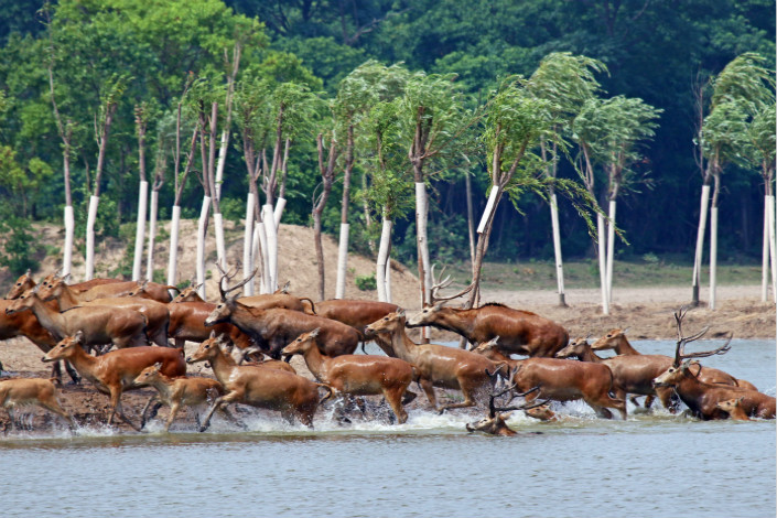 The chaotic management of the Sanjiangyuan conservation zone led to local farmers being paid to erect fences, and then paid to make their fences shorter by two different government departments. Pictured are a group of Pere David's deer in the Dafeng Moose National Nature Reserve in the eastern province of Jiangsu. Photo: Visual China