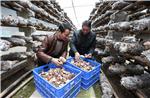 """农行通过""""特色项目+农户""""方式,为菇农提供信贷支持,目前重点支持了70多户菇农"""