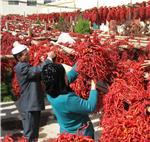 农行青海分行支持的仙红辣椒厂