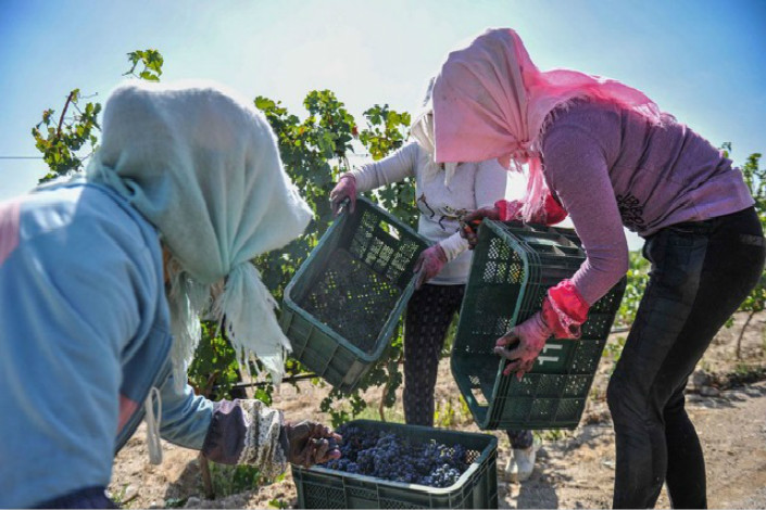 Women harvest grapes at the Silver Heights Vineyard in the Ningxia Hui autonomous region. Due to China's climate, many vineyards have to bury their vines during the winter and then replant them in the spring, which increases the sophistication of Chinese wine-making. Photo: Silver Heights Vineyard