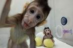 """中国科学家重要突破:克隆猴""""中中""""""""华华""""来了!"""