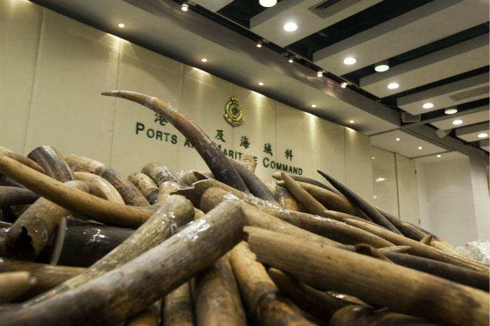 Seized ivory is displayed at a Hong Kong Customs and Excise press briefing in July 2017. The city has long been a gateway for both illegal and legal ivory imports into China, the world's largest consumer of the material. Photo: IC