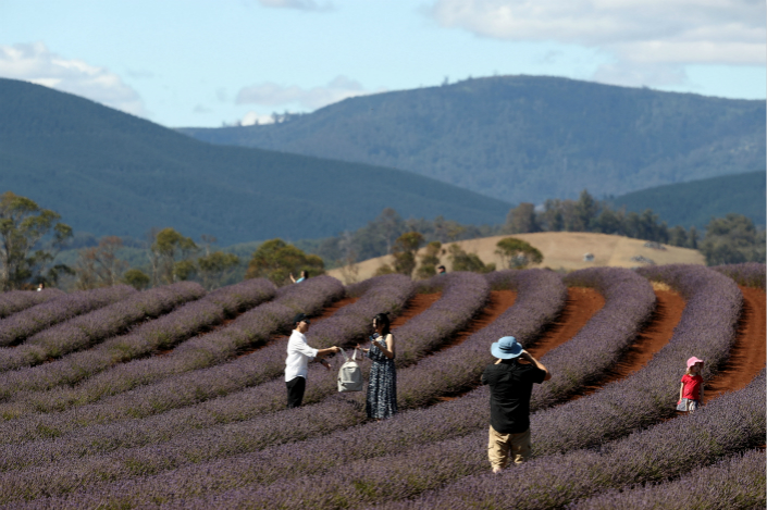 Tourists make their way through the lavender rows at Bridestowe Lavender Estate, which is domestically owned and not for sale, on Jan. 10 in Launceston, Australia. In September, the Australian Tax Office's Agricultural Land Register said the amount of Australian farmland owned by Chinese interests had grown tenfold over the preceding year. Photo: VCG