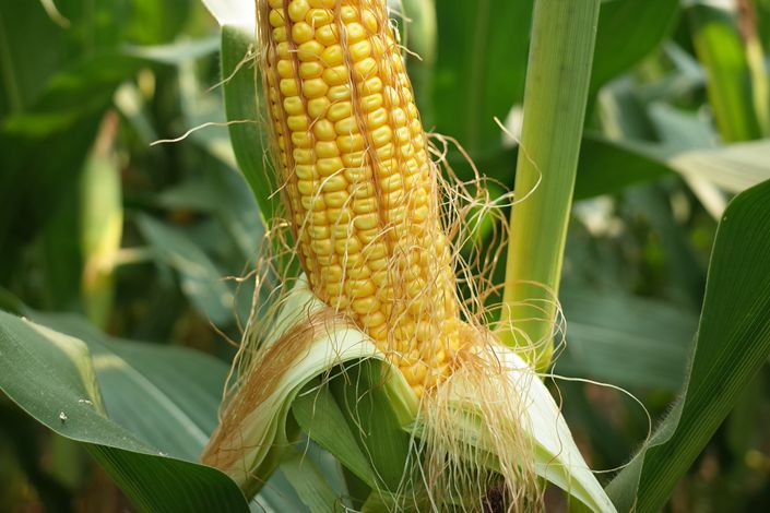 Yuan Longping High-Tech admitted that it had marketed genetically modified corn seeds without required licenses but did not respond to questions over whether it has been punished over the matter. Photo: IC