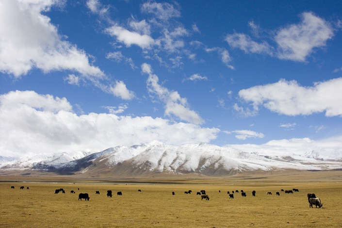 Yaks graze on the Qiangtang grassland in the Tibet autonomous region. Photo: VCG