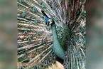 研究:人类活动干扰是绿孔雀走向濒危的主因
