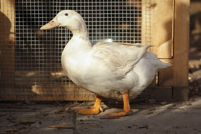 Duck Tales: The Origin of the Water Fowl in Beijing's Famous