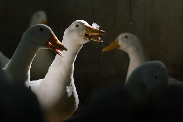 Pekin ducks are seen at the Chinese Association for Agricultural Studies' duck research center in Beijing on Sept. 18. Photo: Wu Huiyuan/Sixth Tone
