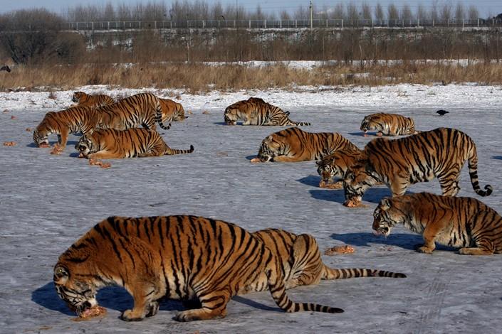 Siberian tigers are raised in Harbin, Heilongjiang province in February 2010. Photo: VCG