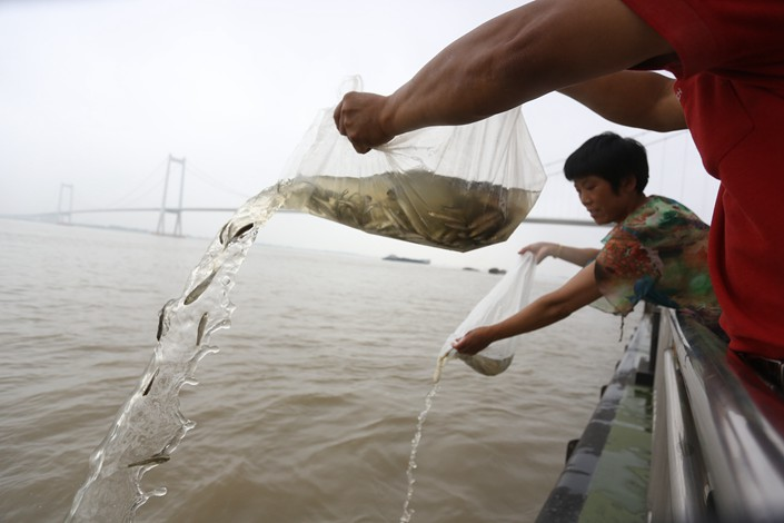 Aquatic-life proliferation and release activities are seen in the Yangtze River in Taizhou, Jiangsu province, in June 2015. Photo: VCG