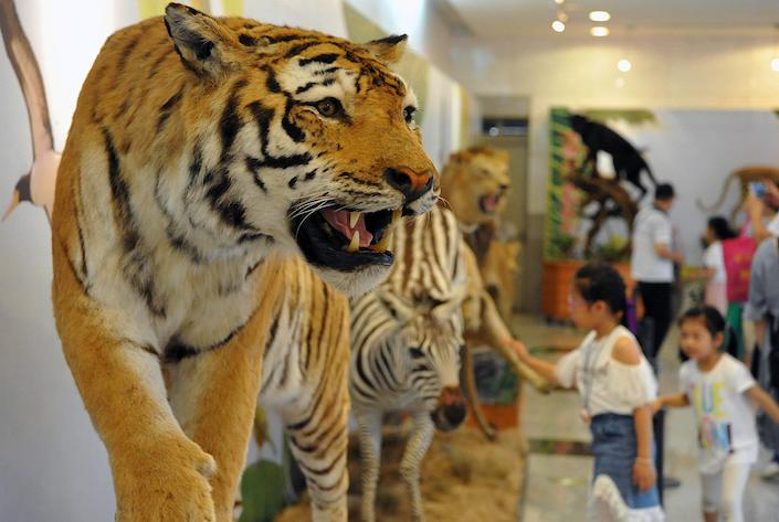People visit a specimen exhibition in Fuzhou in May. China has fewer than 30 tigers living in wild, zoologists estimated. Photo: VCG