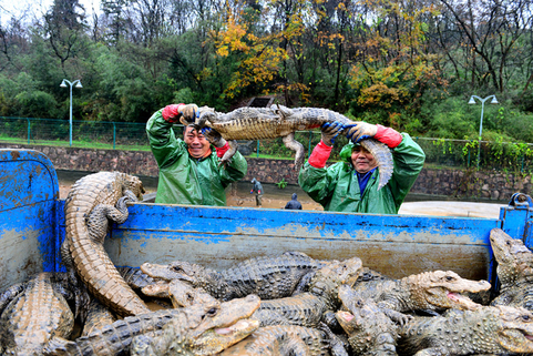 About 13,000 Chinese alligators, also known as Yangtze alligators, are prepared for their winter move by the Chinese alligator national nature reserve to a greenhouse in Xuancheng, Anhui province, on Thursday. Photo: VCG