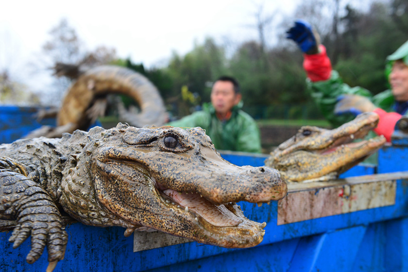 Chinese alligators lie on the back of truck in Xuancheng, Anhui province, while waiting to be moved to a greenhouse in the city for the winter on Thursday. Photo: VCG_Gallery: Chinese Alligators Moved to Greenhouses for the Winter