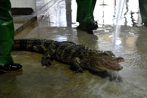 "Workers at the Chinese alligator national nature reserve in Xuancheng, Anhui province, wash a Chinese alligator as part of the alligator's ""wintering transition"" on Thursday. All the Chinese alligators need to be cleaned and have physical examinations. Photo: VCG"