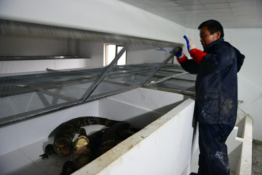Chinese alligators are moved into a greenhouse for the winter in Xuancheng, Anhui province, on Thursday. Photo: VCG